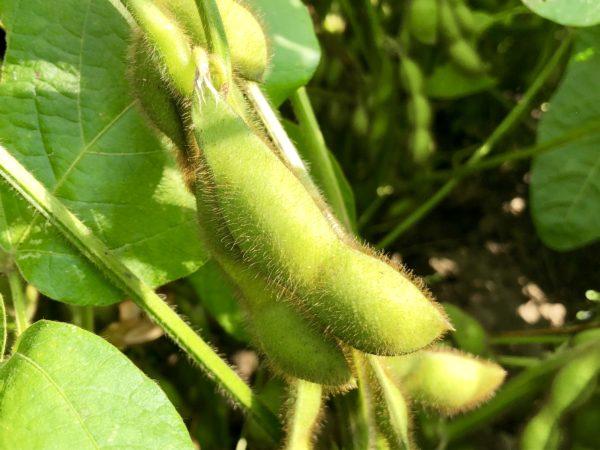 黒枝豆収穫祭2018